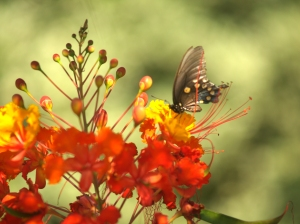 Butterfly on Pride of Barbados