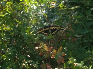 Butterfly on Vine