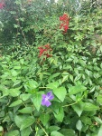 Spring foliage with purple vinca flower and nandina berries